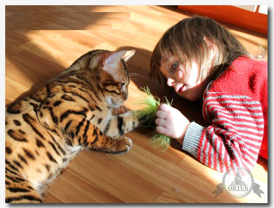 О бенгальских котах и где лучше купить рассказывает информационный портал Ортус Глобал: https://ortus-global.com/blogbengalskie-koshty